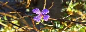 Blüte mit Tautropfen at Dunas de El Portil – Spain