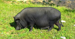 Hängebauchschwein in Punta Umbría am Marktplatz - Spain