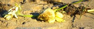 Und wieder achtlos weggeworfene Blumen... - Playa de El Portil – Spain