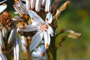 Affodill-Blüte im Parque de Merendas - Barão de São João – Portugal