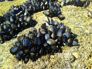 Miesmuscheln am Playa las Pipas – Spain