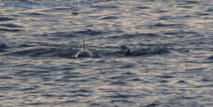 Delfine am Praia O Riás – Spain