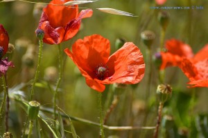 Mohn at Ermita de Muño – Spain