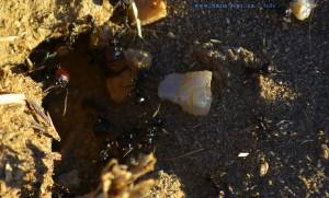 Ameisen in Huerta am Río Tormes – Spain