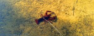 Süsswasser-Flusskrebs im Río Tormes – Spain