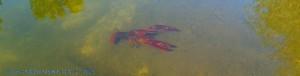 Da is'er wieder - mein Flusskrebs - beim Sonnen am Río Tormes – Spain