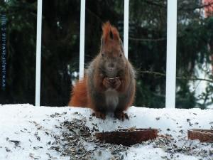 Eichhörnchen (Amadeus) bei einem strengem Winter auf meiner Terrasse in Berlin