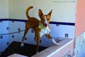Armer Hund - immer an einer sehr kurzen Kette am Passeig Marítim - Casablanca – Spain