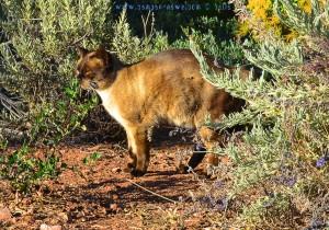 Hübsche Siamkatze am Platja de la Llosa - Spain