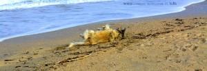 Nicol nimmt Hunde-Parfüm am Platja L'Almadrava – Spain