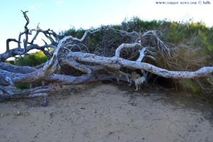Nicol untersucht jeden Busch am Platja del Carabassí - Santa Pola – Spain
