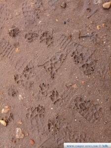 Nicol hinterlässt ihre Pfotenabdrücke im aufeweichtem Boden - Platja del Carabassí - Santa Pola – Spain