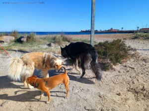 Hunderudel - Nicol, MIlo und ??? am Playa de Torre Derribada - San Pedro del Pinatar – Spain
