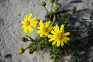 Gelbe Blüten in den Dünen am Playa de Torre Derribada - Pedro del Pinatar – Spain