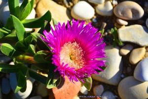 Bodendeckerblüte am Platja L'Almadrava - Dénia – Spain
