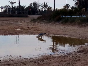 Möwe trinkt am Playa de Torre Derribada - Pedro del Pinatar - Spain