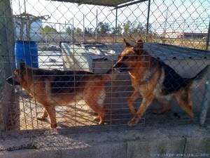 Arme Schäferhunde im Zwinger - Area Sosta Camper in Deltebre - Spain