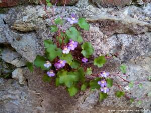 Wunder der Natur - Lila Blümchen wachsen im Bauerwerk - Mondoví – Italy