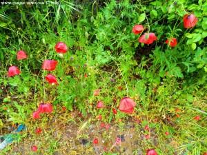 Arme Mohnblumen - lassen alle die Köpfe hänten - Marina die Grosseto – Italy