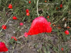 Klatschmohn nach dem Starkregen - Marina die Grosseto – Italy