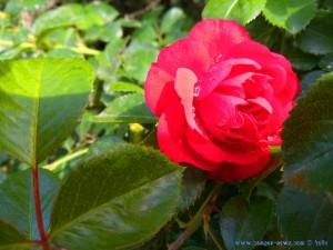 Gefüllte Rose nach Regen - Tarquinia – Italy