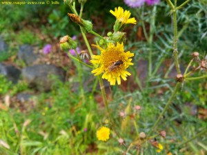 Makro yellow Flower with a Fly - Lago di Bracciano – Italy