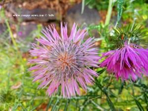 Makro vilolet Flower - Lago di Bracciano – Italy