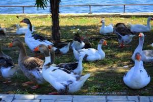 Gänse und Enten am Limni Vólvi – Greece