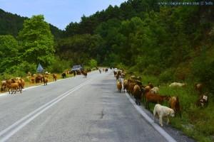 Ziegen auf der Strasse - On the Road - Greece