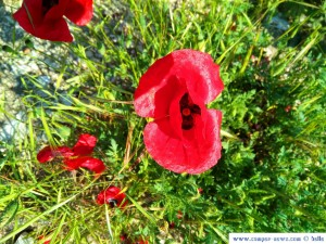 Dunkelroter Klatschmohn in Ioánnina – Greece