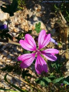Schöne lila Blüte in Ioánnina – Greece