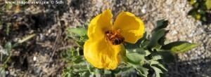 Gelbe Blüte - wie Klatschmohn - mit freissigem Bienchen - Toroni Beach – Greece – Selected Colors
