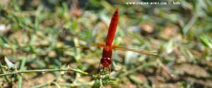 Libelle in Ikismos Lefkes – Greece