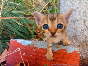 Katze Tiger Lilly - 3-4 Wochen alt - Ikismos Lefkes – Greece