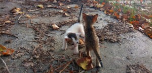 Kater Oscar und Katze Tiger Lilly – ca. 3-4 Wochen alt - Ikismos Lefkes – Greece