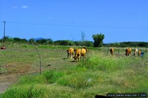 An Kühen vorbei - On the Road - Greece