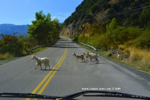 Mal wieder Ziegen auf der Strasse - On the Road in Greece
