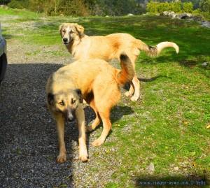 Zwei hübsche wilde Hunde in Greece