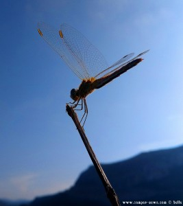 Libelle in Agios Fokas – Greece