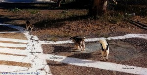 Shortleg-Lady mit zwei Puppies - Epitalio Paralia - Greece