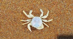 Kleine Krabbe am Kyllini Beach – Greece