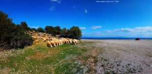 Schafe am Cheronisi Beach – Greece