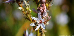 Ästiger Affodill mit Biene am Metamorfosi Beach - Greece