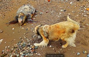 Verendete Riesenschildkröte in Paralia bei Patras – Greece