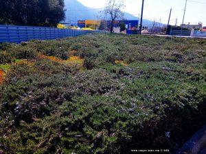 Rosmarin an einem Parkplatz bei Lidl - hier in Patras – Greece