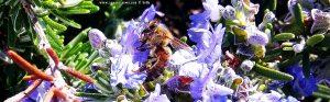 Bienchen summsumm - blühender Rosmarin - Patras – Greece