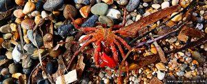 Kleine Krabbe am Kanali Beach - Greece