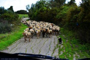 Schafe auf der Strasse - Anaktorio – Greece