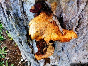 Pilz am Baumstamm vom verkohlten Baum - Anaktorio – Greece
