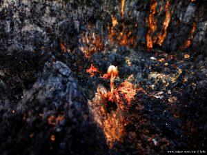 Pilz der in dem verkohlten Baum heran wächst - Anaktorio – Greece